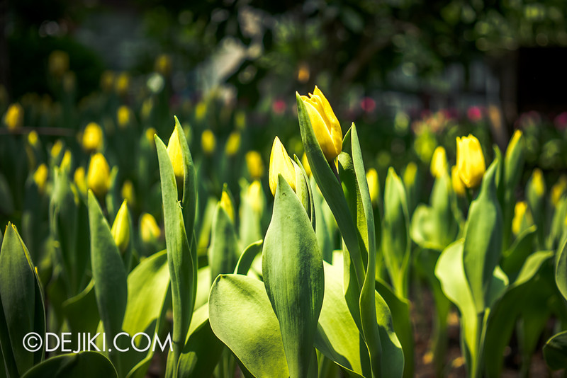 Gardens by the Bay - Tulipmania 2014 - 21