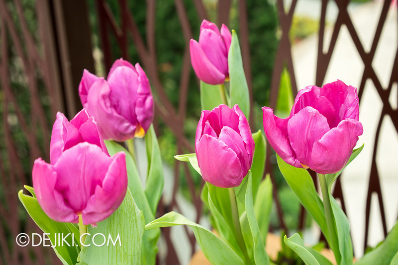 Gardens by the Bay - Tulipmania 2014 - 4
