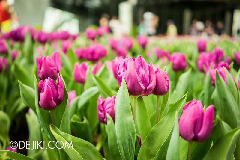 Gardens by the Bay - Tulipmania 2014 - 33