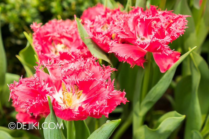 Gardens by the Bay - Tulipmania 2014 - 34