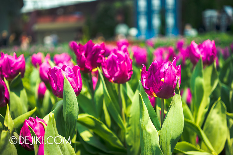 Gardens by the Bay - Tulipmania 2014 - 31