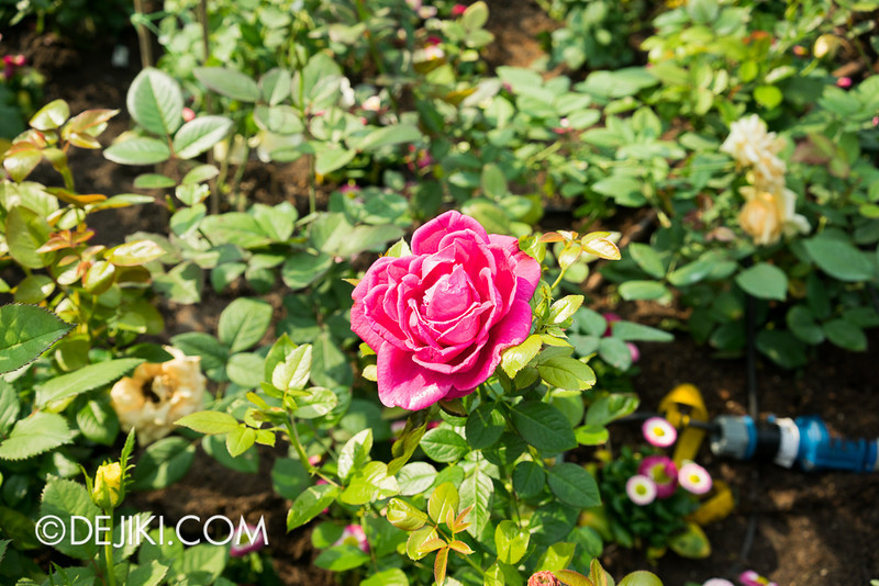 Gardens by the Bay - War of the Roses / Roses 8