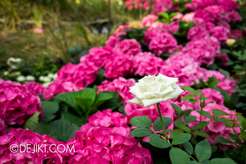 Gardens by the Bay - War of the Roses / Rose 9