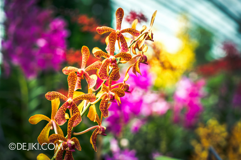 Gardens by the Bay - Orchid Extravaganza - Flower Field 9