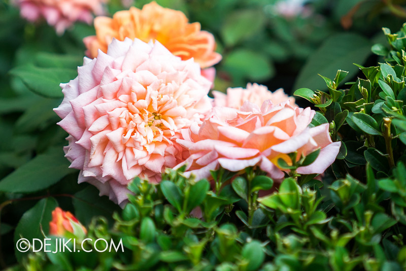 Gardens by the Bay - War of the Roses / Roses
