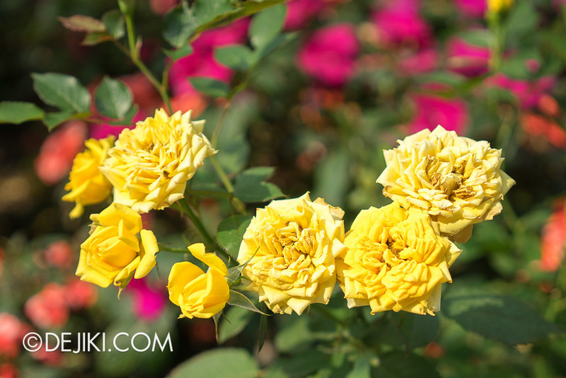 Gardens by the Bay - War of the Roses / Rose 10