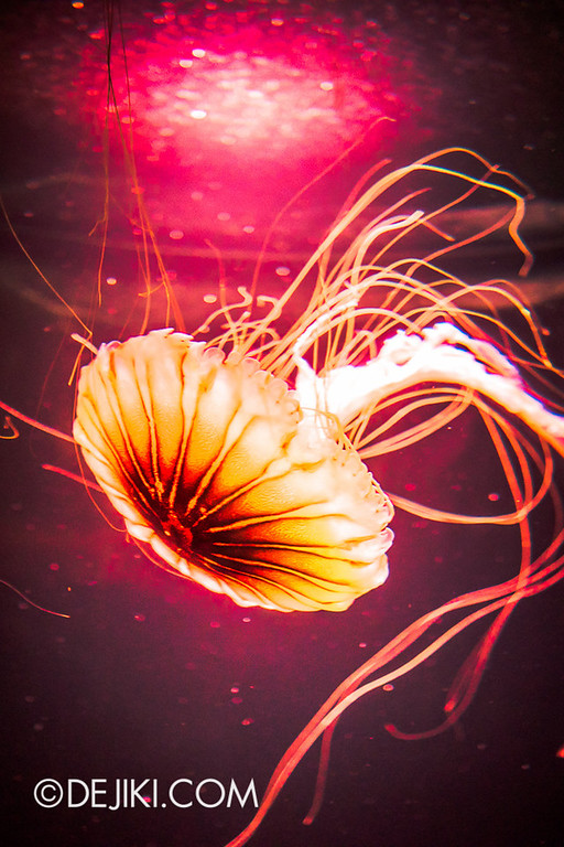 SEA Aquarium - Sea Nettle