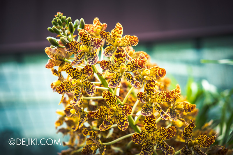 Gardens by the Bay - Orchid Extravaganza - The Tiger Orchid