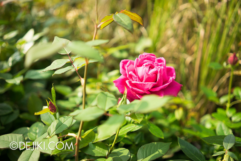 Gardens by the Bay - War of the Roses / Roses 2